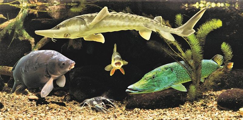 Karpfen, Stöer, Hecht - hinter Glas lassen sich die einheimischen Fische vorzüglich beobachten. Foto: Archiv Nordkurier