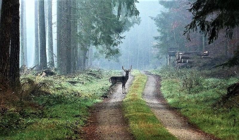 Einsamkeit: Im Naturpark Nossentiner Heide leben vielleicht mehr Damtiere als Menschen. Foto: Archiv Nordkurier