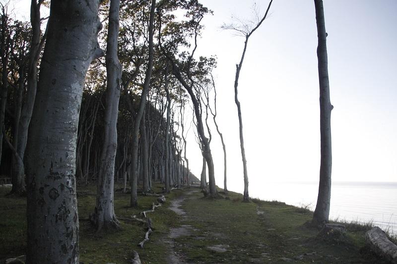 Schaurig schön - wie in einem Märchen: Die Bäume im Gespensterwald Nienhagen sind über 150 Jahre alt, größtenteils kahle Buchen, die in ihrer romantischen Anmutung ein Höhepunkt des Ausflugs sind.200