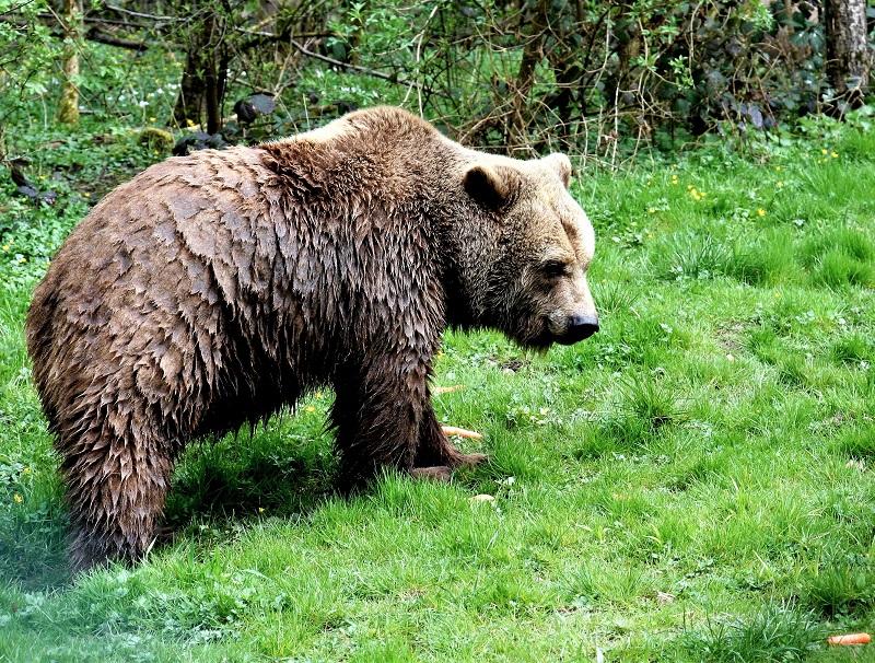 Bär im Bärenwald Stuer